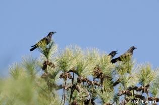 American Crow - Corvus brachyrhynchos Peachtree Park, Atlanta, GA - February 18, 2016