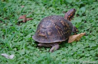 Box Turtle