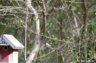 Carolina Chickadees