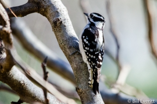Downy Woodpecker - Picoides pubescens Peachtree Park - Atlanta, GA - February 4, 2016