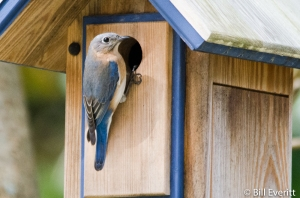 Eastern Bluebird - Sialia sialis Peachtree Park, Atlanta, GA - March, 2016