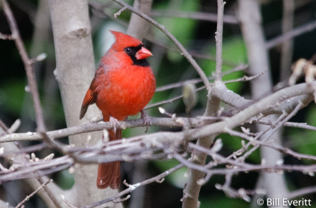 Northern Cardinal - Cardinalis cardinalis Peachtree Park - Atlanta, GA - February 14, 2016