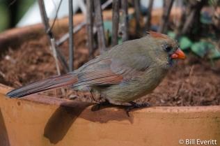 Northern Cardinal - Cardinalis cardinalis Peachtree Park - Atlanta, GA - February 9, 2016