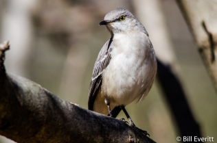 Northern Mockingbird - Mimus polyglottos Peachtree Park - Atlanta, GA - February 4, 2016