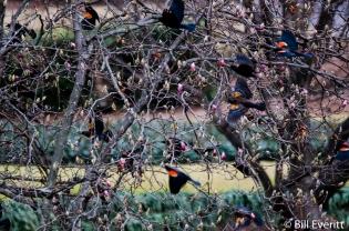 Red-winged Blackbird - Agelaius phoeniceus Peachtree Park, Atlanta, GA - February 1, 2016
