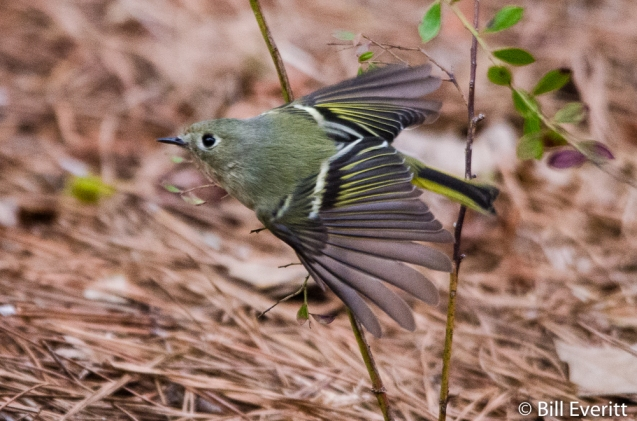 Ruby-crowned Kinglet - Regulus calendula Peachtree Park, Atlanta, GA - February 1, 2016
