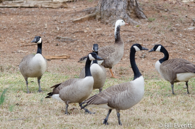 Canada Geese - Branta canadensis & Snow Goose - Chen caerulescens Murphey Candler Park, Atlanta, GA - February 25, 2016
