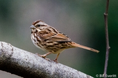 Song Sparrow - Melospiza melodia Peachtree Park, Atlanta, GA - February 1, 2016