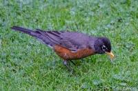American Robin - Turdus migratorius Peachtree Park, Atlanta, GA - March, 2016