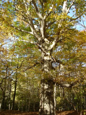Beech_with_Branches