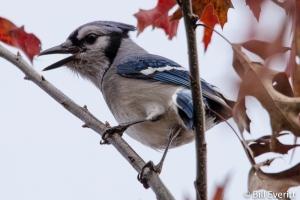 Blue Jay - Cyanocitta cristata Field's Landing, Lake Allatoona, GA - November 12, 2014