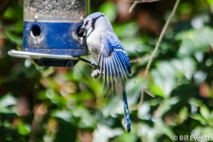 Blue Jay - Cyanocitta cristata Peachtree Park, Atlanta, GA - April, 2016