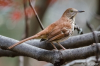 Brown Thrasher - Peachtree Park November, 2015