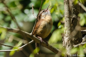 Carolina Wren - Thryothorus lodovicianus Atlanta, GA - Peachtree Park - April 5, 2014