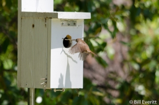 Carolina Wren - Nature Trail