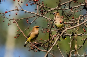 Cedar Waxwings eating Crabapples in January