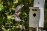 Eastern Bluebird - Nature Trail