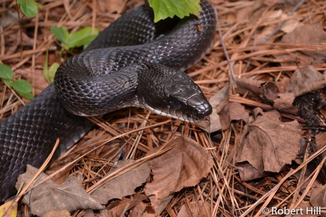 Eastern Ratsnake - non-venomous
