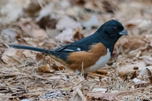 Eastern Towhee - Pipilo erythrophthalmus Atlanta, GA - Peachtree Park - January 11, 2015