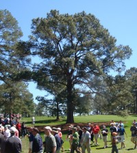 eisenhower_tree_2011