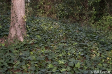 English Ivy as ground cover