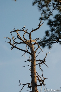 Longleaf Pine Snag