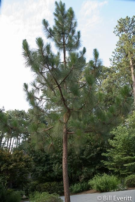 Longleaft Pine