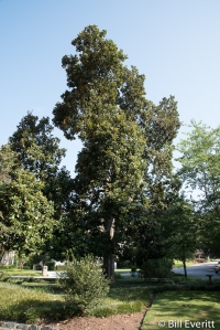 Magnolia tree in Darlington triangle