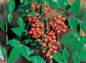 Nandina Berries - photo: James H. Miller USDA, Forest Service
