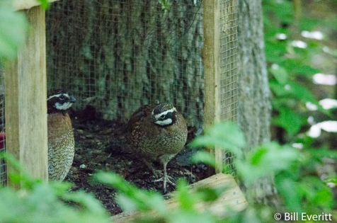 Northern Bobwhite - Atlanta History Center