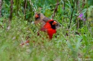 Northern Cardinal - Cardinalis cardinalis State Botanical Garden, Athens, GA - April 13, 2016