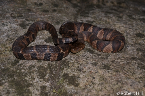 Northern Water Snake - non-venomous