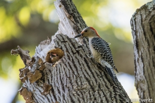 Red-bellied Woodpecker on Nature Trail