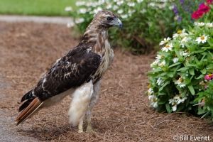 Red-tailed Hawk - Buteo jamaicensis State Botanical Garden, Athens, GA - July, 2014