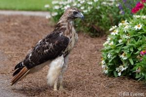 Red-tailed Hawk - Buteo jamaicensis State Botanical Garden, Athens, GA - July, 2014