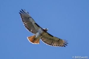 Red-tailed Hawk - Buteo jamaicensis Peachtree Park, Atlanta, GA - November 10, 2014