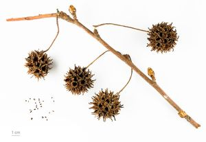 Sweetgum Fruit