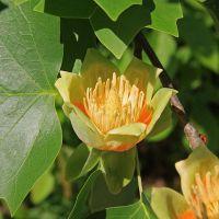 tulip_poplar_flower