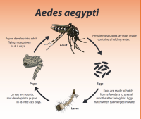 Aedes aegypti life cycle