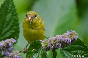 American Goldfinch - Spinus tristisAtlanta, GA - Peachtree Park - July, 2013
