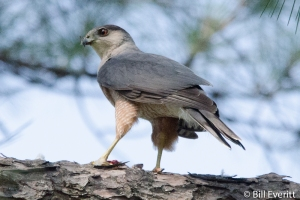 Cooper's Hawk - Accipiter cooperii Atlanta, GA - Peachtree Park - May 23, 2014