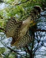 Cooper's Hawk - Accipiter cooperii Atlanta, GA - Peachtree Park - July 30, 2014