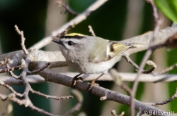 Golden-crowned Kinglet - Regulus satrapa Peachtree Park, Atlanta, GA - March, 2016