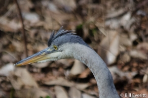 Great Blue Heron - Ardea herodias Atlanta, GA - Peachtree Park - January 1, 2015
