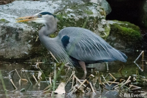 Great Blue Heron - Ardea herodias Atlanta, GA - Peachtree Park - January 11, 2015
