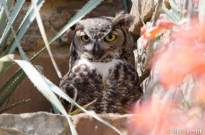 Great Horned Owl - Bubo virginianus Lady Bird Johnson Wildflower Center, Austin TX - April 7, 2015