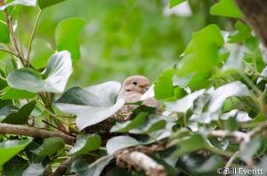 Mourning Dove - Zenaida macroura Atlanta, GA - Peachtree Park - June, 2013