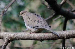 Mourning Dove - Zenaida macroura Peachtree Park, Atlanta, GA - December 31, 2015