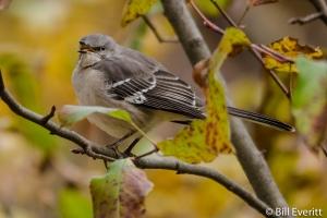Northern Mockingbird - Mimus polyglottos Peachtree Park, Atlanta, GA - November 18, 2014