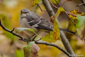 Northern Mockingbird - Mimus polyglottos Peachtree Park, Atlanta, GA - November 18, 2014